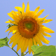 Thumb sunflower avitar