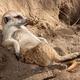 Thumb meerkat lounging 1