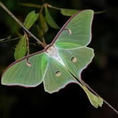 Profile lunar moth