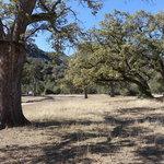 Carrizo oaks