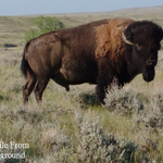 Buffalo camp at american prairie reserve